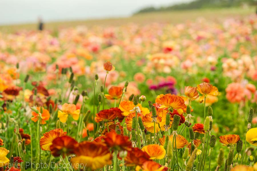 How to get to the flower fields at Carlsbad