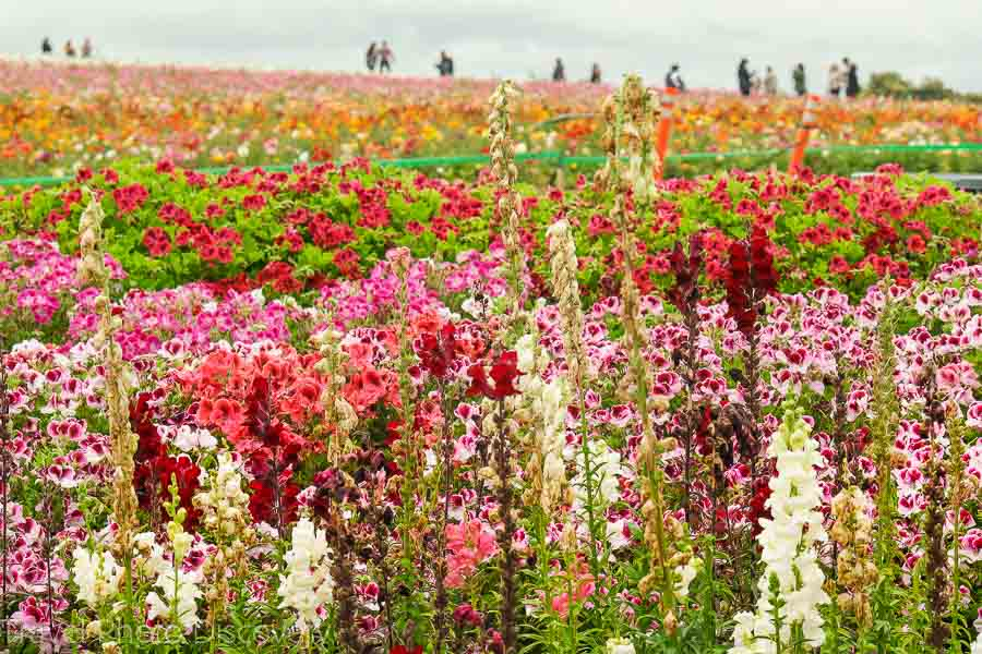 More details to visiting the Carlsbad Flower Fields + Safety Measures
