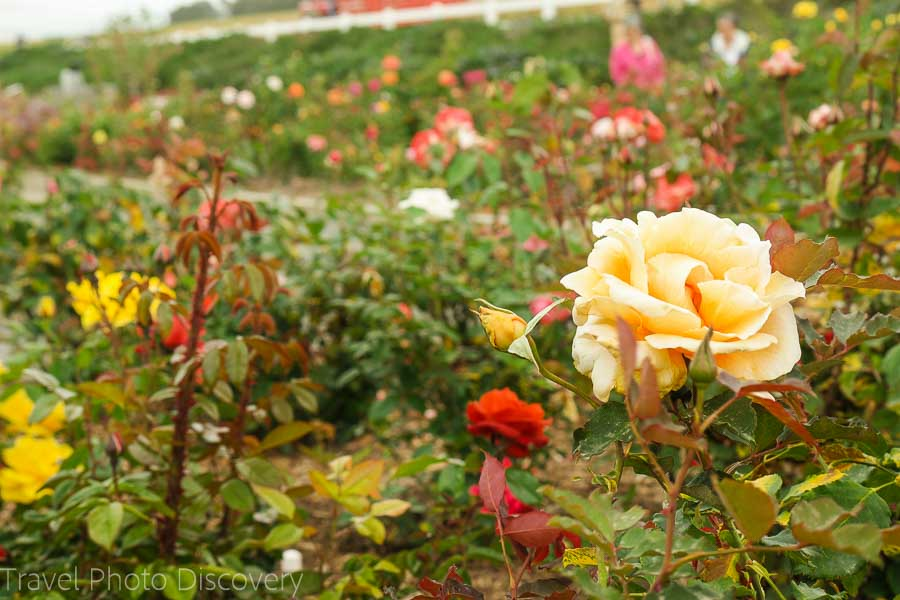 Have you visited the Carlsbad Flower gardens before?