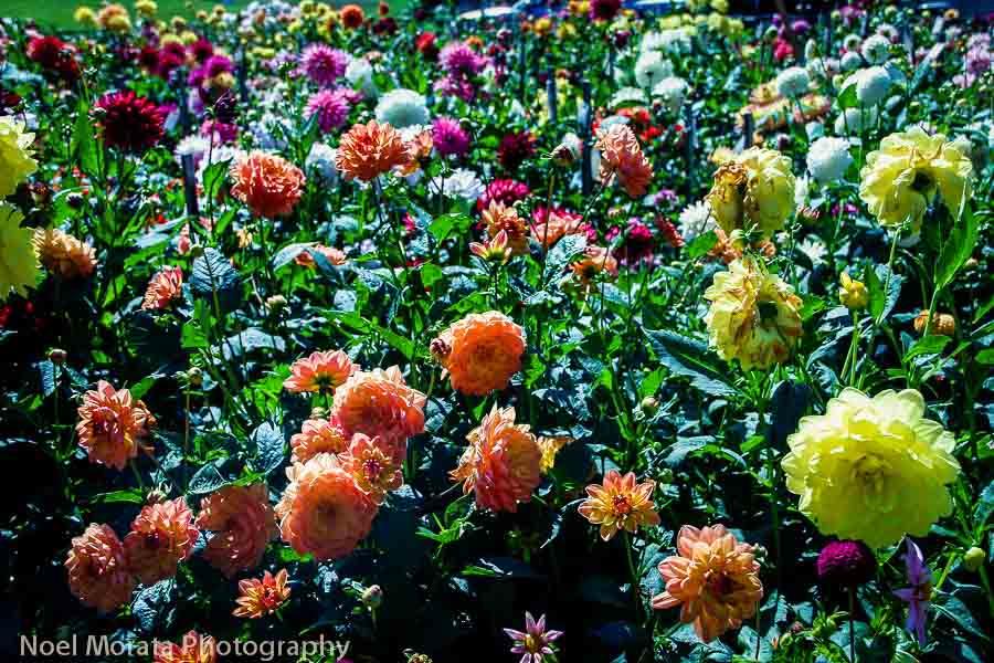 Dahlia Garden Golden Gate Park