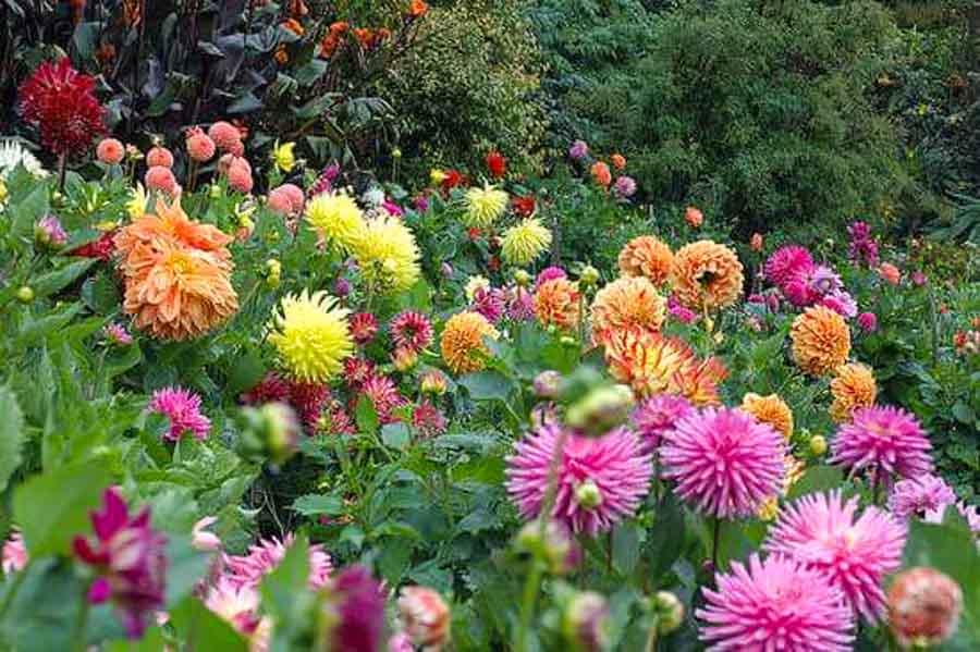 Where is the Dahlia garden located?