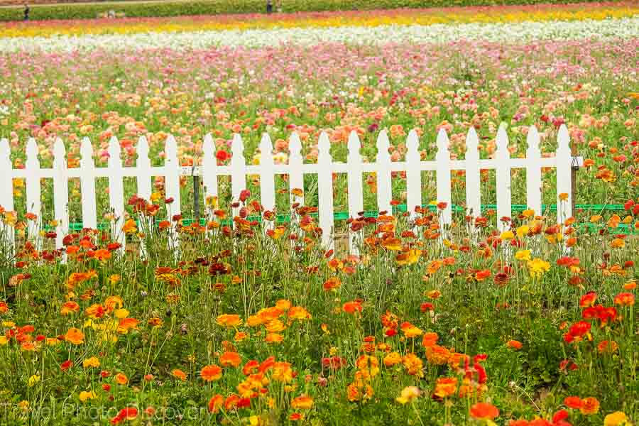 Carlsbad flower fields and beach areas