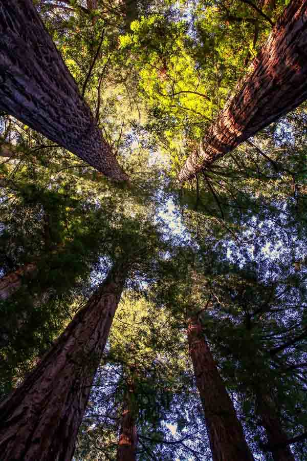 Visit the tall redwood trees at Armstrong Woods State Park